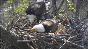 Eagle Cam 2016
