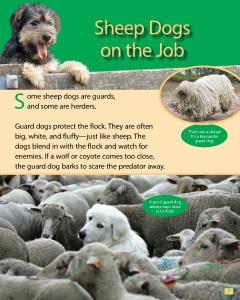 https://aws.cricketmedia.com/media/20160318192516/Sheep-Dogs-on-the-Job.pdf